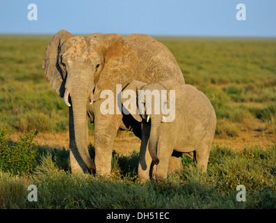 African Bush Elephants (Loxodonta africana), cow with calf in the morning lightt, Serengeti, Tanzania - Stock Photo