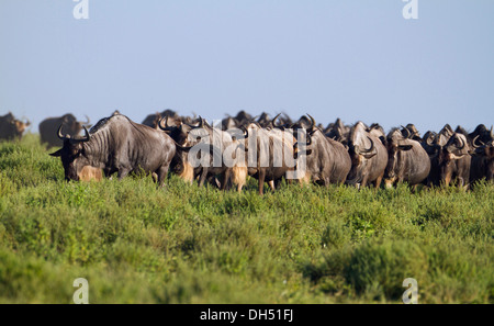 Herd of Blue Wildebeest (Connochaetes taurinus) walking in single file from head to tail, Serengeti, Tanzania - Stock Photo