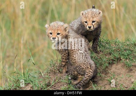 Cheetahs (Acinonyx jubatus), cubs, several weeks, Massai Mara, Serengeti, Rift Valley province, Kenya - Stock Photo