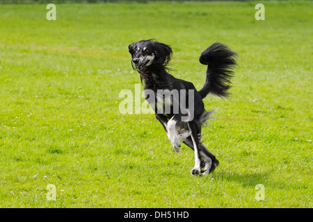 Saluki, Persian Greyhound, Royal Dog of Egypt (Canis lupus familiaris), male, running on a race course, sighthound - Stock Photo