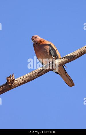 Palm dove, Laughing dove (Streptopelia senegalensis) in the desert, Hashemite Kingdom of Jordan, Middle East - Stock Photo