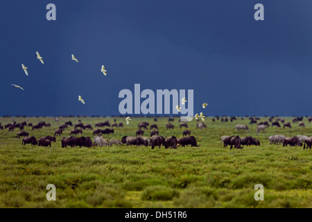 Birds flocking above a grazing herd of Blue Wildebeest (Connochaetes taurinus) in front of an approaching storm, - Stock Photo