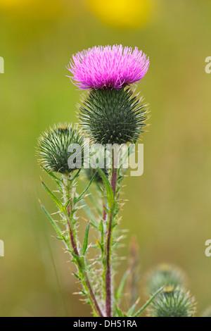 Flowering Spear Thistle (Cirsium vulgare, Cirsium lanceolatum) - Stock Photo