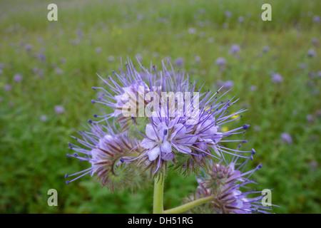 Lacy Phacelia (Phacelia tanacetifolia) - Stock Photo