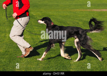 Woman running with a male Saluki, Royal Dog of Egypt or Persian Greyhound (Canis lupus familiaris) on a race course - Stock Photo