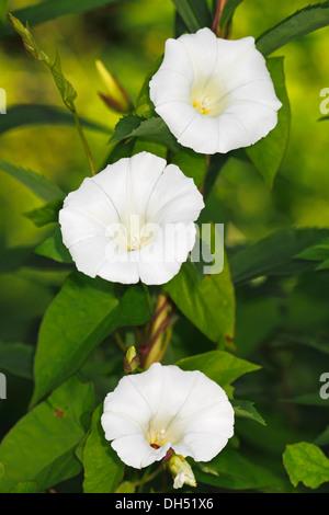 Flowering Hedge Bindweed or Lady's Nightcap (Calystegia sepium ssp. sepium, Convolvulus sepium) - Stock Photo