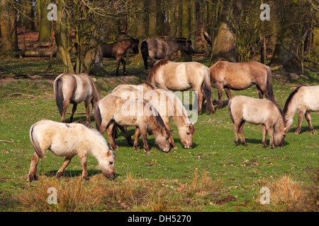 Konik horses with winter coats, herd in the Geltinger Birk Nature Reserve, Gelting, Schleswig-Holstein - Stock Photo