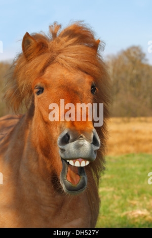 Icelandic Horse or Pony, mare neighing and laughing - Stock Photo