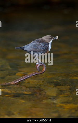 European, white throated, Dipper (cinclus cinclus) feeding on caddis fly larvae. Yorkshire Dales, North Yorkshire, - Stock Photo