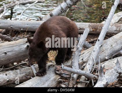 Black bear at beaver dam in Taylor Creek seeks spawning kokanee salmon - Stock Photo