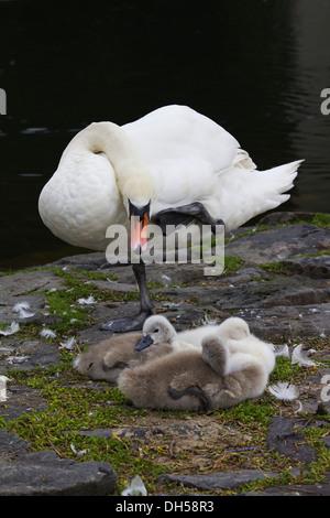 Mute swans (Cygnus olor), cygnets and an adult, lake Seilersee near Iserlohn, North Rhine-Westphalia - Stock Photo