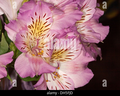 Cluster of mauve and white flowers of Alstroemeria , Peruvian / Princess lily, against dark background - Stock Photo