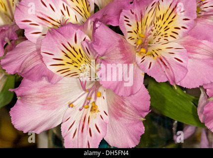 Cluster of pale mauve / pink and white flowers of Alstroemeria, Peruvian / Princess lily - Stock Photo