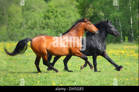 Andalusian and Friesian stallions galloping in field - Stock Photo