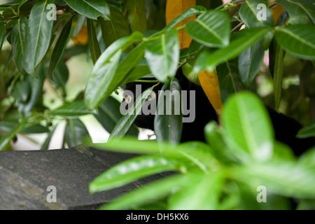 Domestic black cat hiding foliage of plant in a garden. - Stock Photo