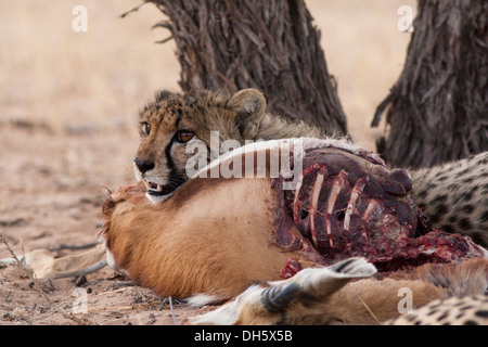 Cheetah cub resting after feasting on a kill in the Kalahari desert - Stock Photo