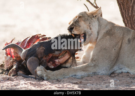 African lioness biting down on a kill in the Kalahari desert - Stock Photo