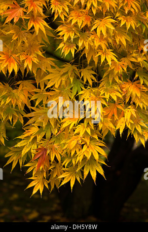 Autumn colour in the golden red leaves of Japanese Maple, Acer palmatum - Stock Photo