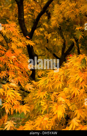 Golden Autumn leaves of Japanese Maple, with dark branches and more foliage in soft focus behind. - Stock Photo