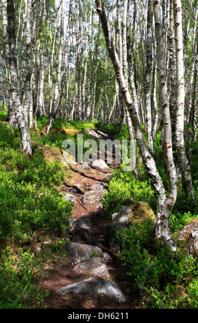 Sunlight dappled path through a Scottish Silver Birch woodland. Near Kingussie, Cairngorms National Park - Stock Photo