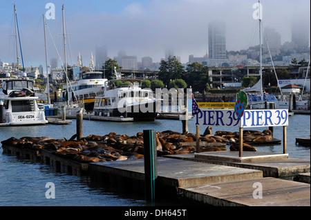 Welcome sign on the 21st Anniversary, California sea lions (Zalophus californianus) at Pier 39, marina, Fisherman's - Stock Photo