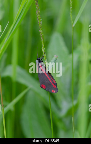 Cinnabar Moth [Tyria jacobaeae] adult. Sussex, July. - Stock Photo