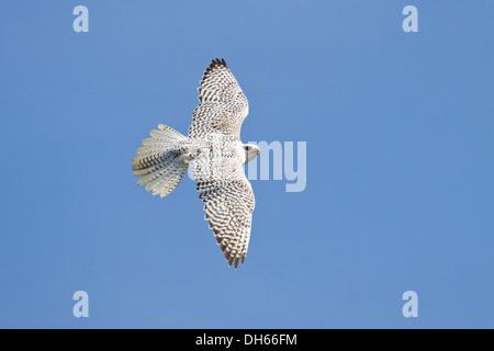 Gyrfalcon (Falco rusticolus) in flight, female, Arctic Zone - Stock Photo