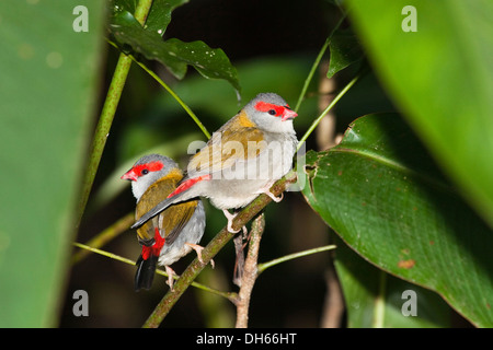 Pair of Red-browed Finches (Neochmia temporalis), Queensland, Australia - Stock Photo