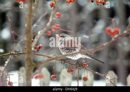 Fieldfare (Turdus pilaris) perched on a crabapple tree in a garden in the snow - Stock Photo
