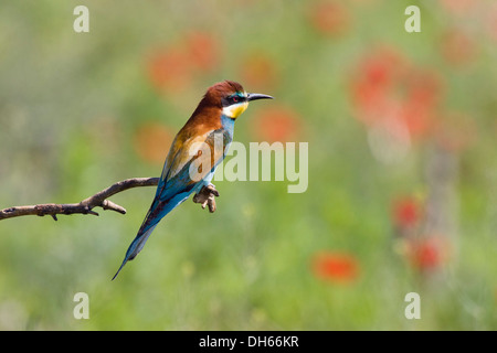 European Bee-easter (Merops apiaster), perched on twig, Bulgaria, Europe - Stock Photo