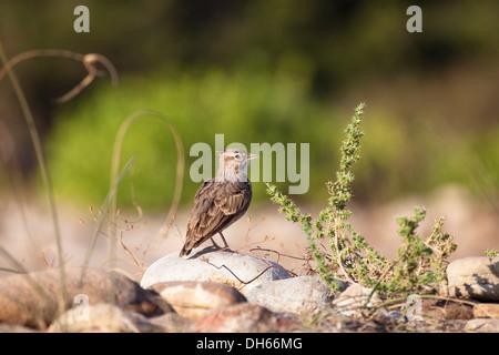 Crested Lark (Galerida cristata), singing, Lycia, Turkey, Asia Minor - Stock Photo