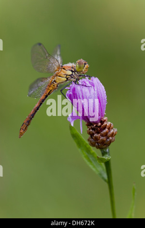 Vagrant Darter (Sympetrum vulgatum), on a flower, Vulkaneifel district, Rhineland-Palatinate - Stock Photo