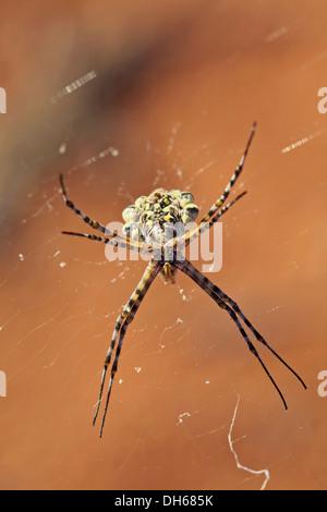 Garden Orb Spider (Argiope australis) in its web, Namib Desert, Namibia, Africa - Stock Photo