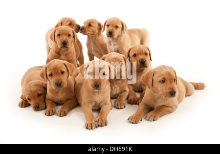 A litter of Ten Fox Red Labrador puppies - Stock Photo