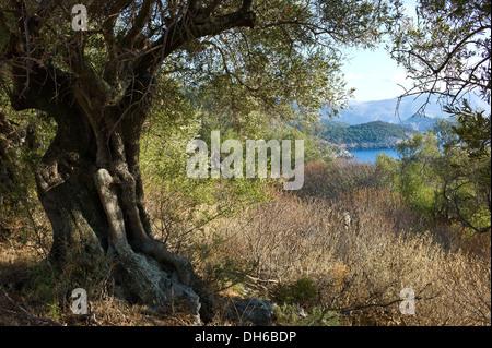 View to the sea through Olive trees and dense undergrowth of vegetation in Halkeri near Fiscardo, Kefalonia, Greece - Stock Photo