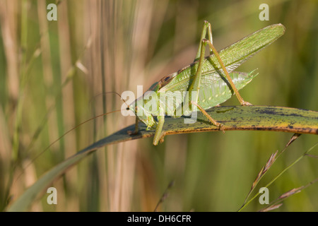 Great Green Bush-cricket - Tettigonia viridissima. Male - Stock Photo