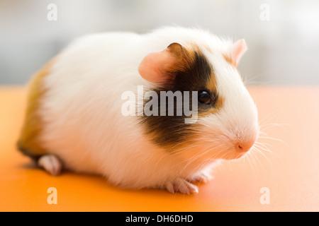 Cute guinea pig sitting on orange surface - Stock Photo