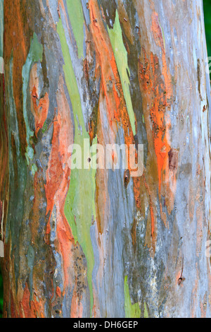 The multi-colored bark of a Eucalyptus tree looks like an abstract painting in Arenal National Park, Costa Rica - Stock Photo