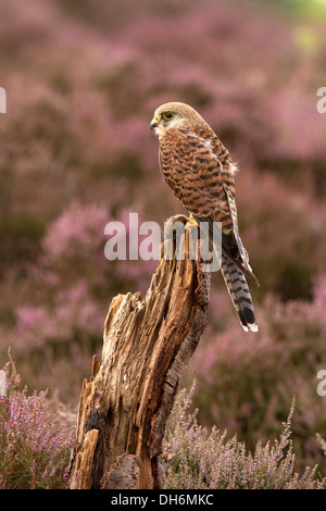 Kestrel, Falco tinnunculus with its prey, in heather - Stock Photo