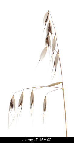 deaf oat (Avena fatua) on white background - Stock Photo