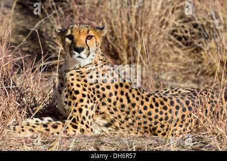View of relaxed wild Cheetah watching the savannah in Namibia, South Africa - Stock Photo