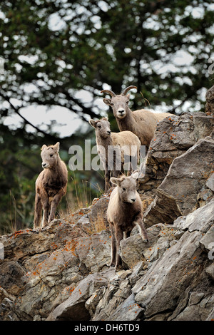 A family of Bighorn Sheep walking over a rocky ledge. - Stock Photo