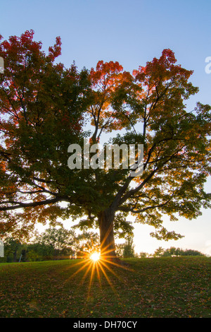 Old Sugar maple tree in spectacular October sunset. - Stock Photo