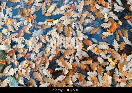 Fallen sessile oak leaves floating on the water Quercus petraea - Stock Photo