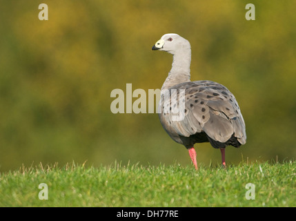 Cape Barren Goose (Cereopsis novaehollandiae) in a Staffordshire field - Stock Photo