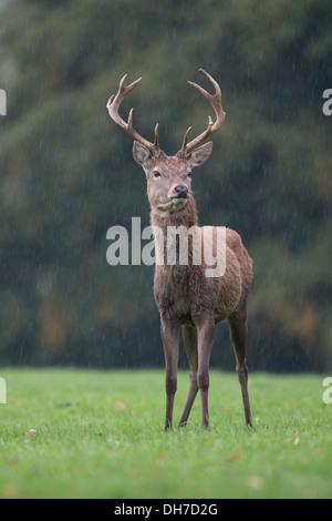 Male Red Deer (Cervus elaphus) stag during autumn rut. Studley Royal, North Yorkshire, UK - Stock Photo