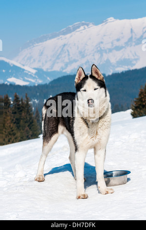 Portrait of Siberian Huskty dog in winter - Stock Photo