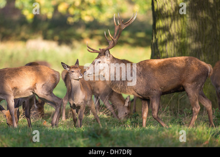 Male Red Deer (Cervus elaphus) stag chasing female hinds during autumn rut Studley Royal, North Yorkshire, UK - Stock Photo