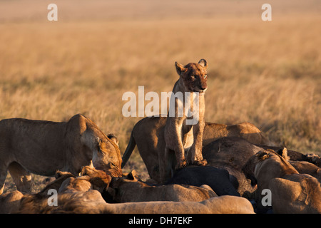 A young lion is standing on top of the prey looking at some vultures while the other pride members are feeding - Stock Photo