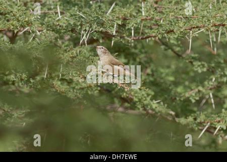 Plain Leaf Warbler (Phylloscopus neglectus) - Stock Photo